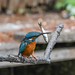 Kingfisher 1903171334.jpg