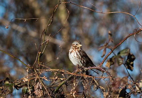 Fox Sparrow at Rockburn