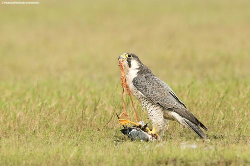 Peregrine Falcon (with Northern Shoveller kill)