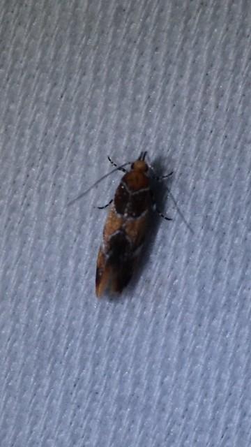 Orange-headed Epicallima Moth, June 29, 2017, Howard County, Clarksville quad, Schooley Mill Park, identified by Tim Reichard