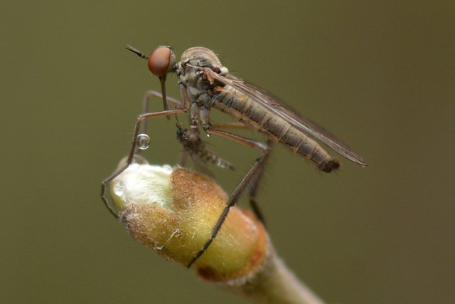 Dance Fly (Empididae) on a willow bud - with