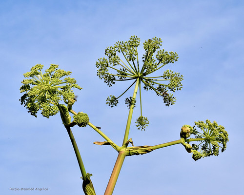 Purple-stemmed Angelica - Angelica atropurpurea   -  Apiaceae: Parsley or Carrot family