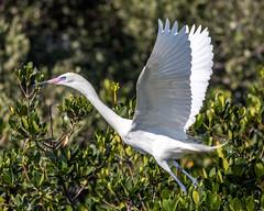 Morph Reddish Egret Takeoff