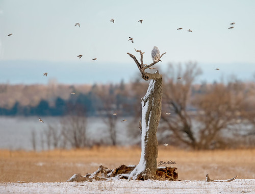 Snowy-Owl-and-Snow-Buntings-12232018c