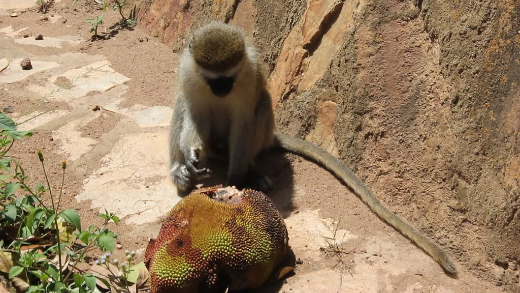 Monkey eating a jackfruit, Entebbe, Uganda