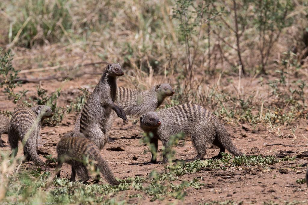 manguste Serengeti sep18_09_med