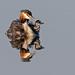 Great Crested Grebe, Podiceps cristatus