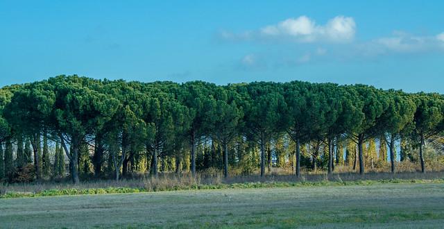 stone pines pinus pinea, Nikon D3100, AF Zoom-Nikkor 28-200mm f/3.5-5.6G IF-ED