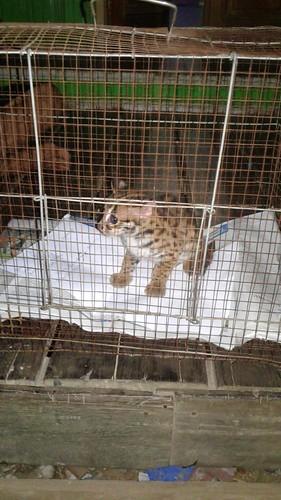 Kucing Kuwuk Kembali Terselamatkan Berkat Peran Parapihak (01)