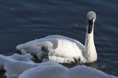 Trumpeter swan, Yellowstone River, Hayden Valley