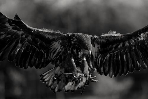 European Sea Eagle