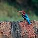 Kingfisher with grub on wall