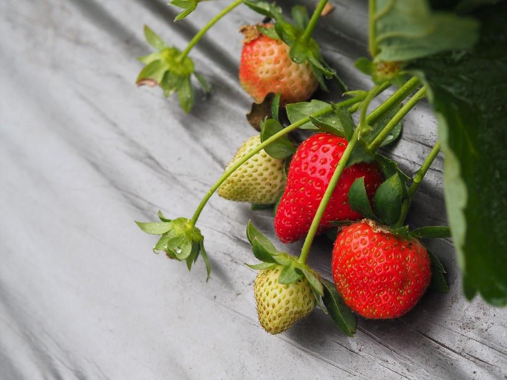 善化大安草莓 (3)