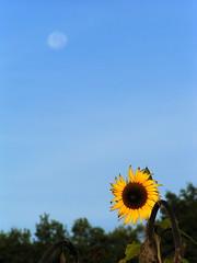 20080917 38532 1018 Jakobus Sonnenblume Mond_K_01a - Photo of Sainte-Alauzie