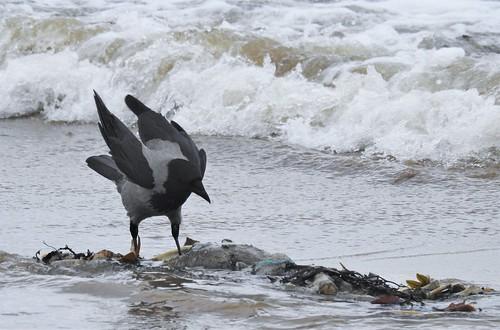 Seal Carcass Buffet - Hooded Crow