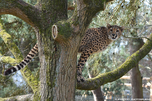 Cheetah - Safaripark Beekse Bergen