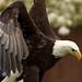 Bald Eagle Landing! by rambokemp