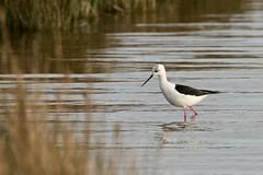 Échasse blanche Himantopus himantopus - Black-winged Stilt      CED_6856